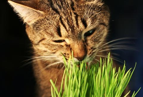 gato-grama1