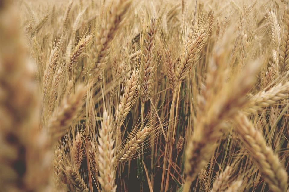 wheat-2543827_960_720